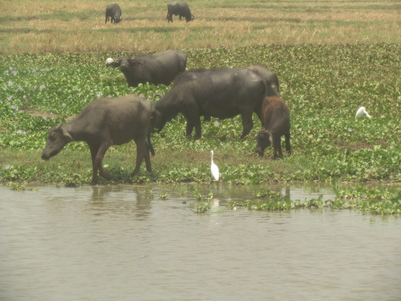 water-buffaloes.resized
